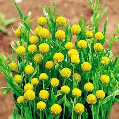 Садовая диковина - земляничная трава с чудесными свойствами