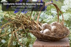Complete Guide to Growing Garlic | Garlic is a flavorful cooking ingredient and healthful plant used all over the world. Although it is widely available in supermarkets, homegrown garlic surpasses its commercially-grown cousins in both variety and flavor. Best of all, this bulb is best planted in the fall, so if you haven't planted it yet, you still have plenty of time! Here's how to plant, grow, and harvest garlic. | TraditionalCookingSchool.com/garlic