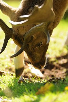 Fallow Deer Bradgate Park by Andy Silver