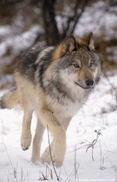 Wolf in snow, MT