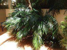 Chamaedorea cataractarum CS