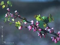 15'x10' A deciduous, multi-trunked shrub, with attractive winter form. It blooms in early spring with vivid magenta flowers, before its nearly circu...