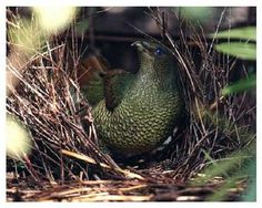 Female Satin Bowerbird..i really had to look for her.  she blends into her surroundings