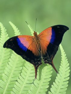 Iole's Daggerwing Butterfly (Marpesia Iole), Family Nymphalidae, Costa Rica