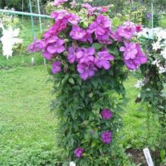 The Kivistiks have resolved the frustrations of the past for the clematis gardeners! Climbing Clematis, Clematis Plants, Garden Plants, Buy Christmas Tree, Garden Cafe, Chelsea Flower Show, Trees To Plant, Garden Furniture, Seeds