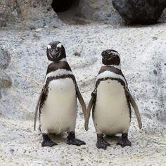 S.F. zoo penguins