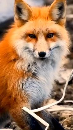 Red Fox Pet, Pet Fox, Cute Funny Animals, Cute Baby Animals, Nature Animals, Animals And Pets, Fox Gif, Fox Pups, Fox Pictures