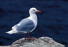 Glaucous gull (Larus hyperboreus) Wikipedia, the free encyclopedia