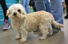 ADOPTED! Daisy Mae is a 5-6 Year old spayed female Shih Tzu/Poodle mix that was rescued from a high kill shelter and is ready to find her forever home. Daisy recently had surgery to remove her right eye due to a mature cataract and glaucoma but she hasn't let that slow her down one bit.   Daisy is a sweet, sassy, confident dog that LOVES attention, sitting on your lap and hanging out with other dogs.