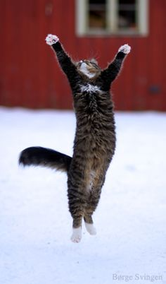 Jumping cat by Børge Svingen Praise snow dancing! Cool Cats, I Love Cats, Crazy Cats, Funny Cats, Funny Animals, Cute Animals, Beautiful Cats, Animals Beautiful, Jumping Cat