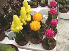 Прививка кактусов - Все о комнатных растениях на flowersweb.info