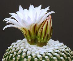 turbinicarpus pseudopectinatus cactu flower from mexico