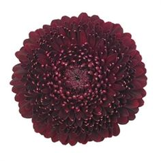 Buy wholesale Germini Rack Pomponi Black Pearl for UK delivery. 80 stems of dark red Pomponi Black Pearl mini gerbera per box. Florist supplies also available. Love Flowers, Fresh Flowers, Beautiful Flowers, Wedding Bouquets, Wedding Flowers, Florist Supplies, Gothic Wedding, Gerbera, Chrysanthemum