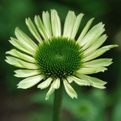 Echinacea Green Jewel | Coneflower