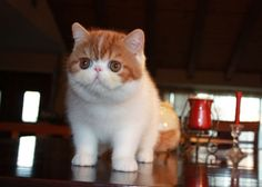 : Exotic Shorthair Cats & Persian Cats -
