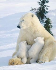 Mother polar bear nursing her cubs