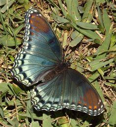 Black-eyed Butterfly
