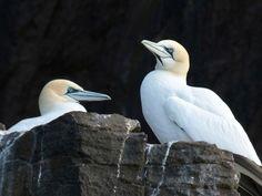 Besuch bei den Tölpeln - Es müssen nicht immer die Highlands sein. Auf der unbewohnten Insel Bass Rock im Süden Schottlands lohnt sich der Besuch der weltweit größten Kolonie der weißgrauen Seevögel. Zum Reisebericht: http://www.nachrichten.at/reisen/Besuch-bei-den-Toelpeln;art119,1350488 (Bild: Maggie Riepl)