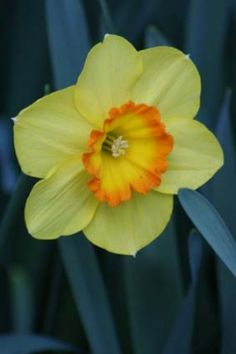 my favorite full size daffodil in my garden