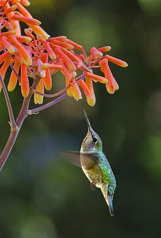 Ruby-Throated Hummingbird (Female) On Aloe