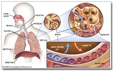 Respiratory System - Encyclopædia Britannica, Inc.