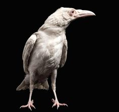 """TYWKIWDBI (""""Tai-Wiki-Widbee""""): Rare albino raven"""