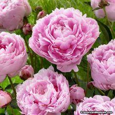 Peony Sarah Bernhardt, Paeonia lactiflora