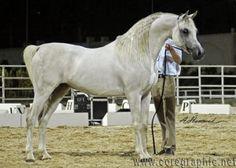 Arabian Stallion Winner of Most Classic Head by bobbie