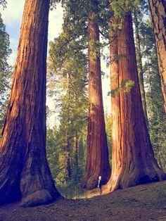 Redwoods, CA