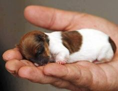 Tiny Jack Russell Chihuahua mix - I LOVE newborn puppies! I will never forget the first time when I helped deliver newborn puppies:):) Tiny Puppies, Teacup Puppies, Cute Puppies, Cute Dogs, Adorable Babies, Cute Baby Animals, Funny Animals, Newborn Animals, Best Dogs For Families