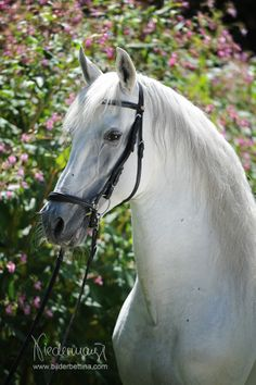 Andalusian / PRE