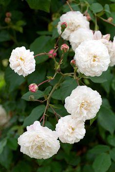 Félicité et Perpétue | White Rambling Rose