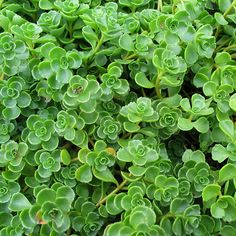 Drought Resistant Perennial Groundcover - John Creech Stonecrop Sedum spurium Jeepers Creepers USA Perennial Sedums