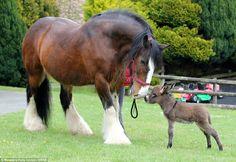 Baby donkey meets huge shire horse on Dartmoor Majestic Horse, Beautiful Horses, Animals Beautiful, Beautiful Babies, Farm Animals, Animals And Pets, Cute Animals, Big Horses, Horse Love