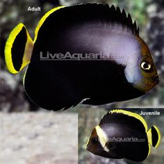 Black Velvet Angelfish