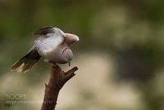 Please follow my symbol Peace - Pinned by Mak Khalaf This is the picture of Eurasian Collared Dove. This is really the symbol of Peace through the world.. Animals Bird loverBird of preyBird photographyBird picturesBirds eye viewBirds of pakistanNature imagesNature loverNature photography by arshadashraf1