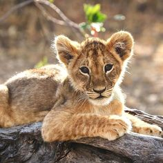 Likes, 6 Comments - Wildlife Big Cats, Cats And Kittens, Cute Cats, Big Animals, Cute Baby Animals, Animal Lover Tattoo, Lion Photography, Baby Cheetahs, Gato Grande