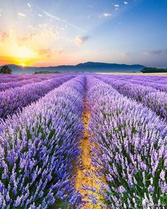 Sunrise on the Lavender Fields in Valensole. Booming season is now! I can recommend you a nice place to stay if you want to visit the region  . . #loves_france_ #loves_europe #loves_world #g_travel #globe_travel #exploringthegloble #visitlafrance #lavender_field #provence #lavande #sunset_captures #sunrise #sunset #france_vacations #master_shots #monumentaleurope #phenomenal_shots #super_france #super_europe