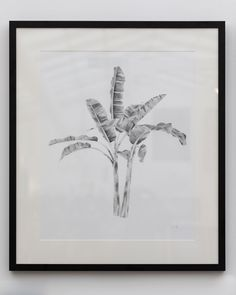 Musa Ornata - the flowering banana plant Charcoal on Paper 106 x 115 cm - Framed More details are at the bottom of this page Cornwall Art Gallery - North Coast Asylum Art Gallery, Monochrome Art, Painter, Moose Art, Monochrome, Chalking, Humanoid Sketch, Abstract, Portraiture Art