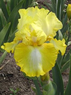 Welcome to Garden! More than 400 varieties of Tall Bearded Iris await you this season online and at our garden in Denver. Take a walk through … Iris Flowers, Planting Flowers, Beautiful Flowers, Grandmas Garden, Iris Garden, Bearded Iris, Bouquet, Flower Images, Plant Care