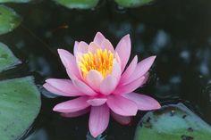 waterlily, ninfea