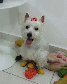 Westie Terrier - Minha Íris... Esperando pro passeio