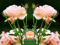 pınk roses