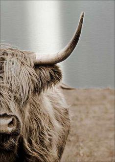 Highland Cow Art, Highland Cattle, Fluffy Cows, Fluffy Animals, Scottish Highland Cow, Scottish Highlands, Farm Animals, Cute Animals, Wild Animals
