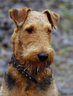 Airedale Terrier puppy Dog