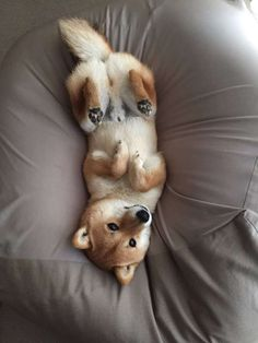 Cute Shiba Inu dog relaxing on his back.