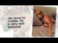 Doxador Dog For Adoption Phoenix AZ   Adopt Labrador Retriever Dachshund...