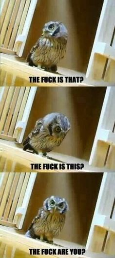 Animal humor I don't know why, but I find this hilarious. this owl must be in the mood i get in sometimes.