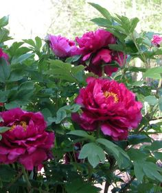 Tree Peonies just stun - Black Dragon tree peony. Small shrub - pricey but huge flowers Most Beautiful Flowers, Pretty Flowers, Flowers Nature, Spring Flowers, Dragon Tree, Growing Peonies, Tree Peony, Small Shrubs, Garden On A Hill