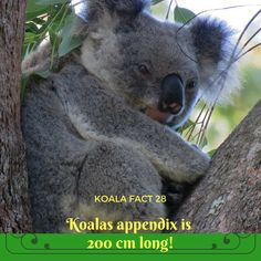 I can never figure how all that caecum, or appendix, fits in a little koala belly, but it does, and it's the secret to them eating what they do. Wildlife Conservation, Byron Bay, Interesting Stuff, Nature Photography, Applique, Core, September, Australia, Facts